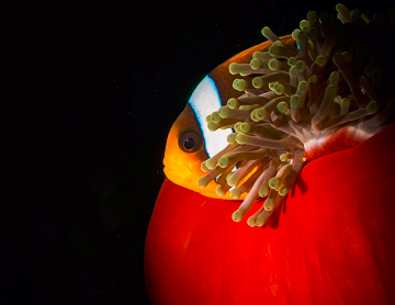 A photograph of a clownfish hiding behind an anemone in the darkness.
